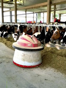 Darrell Blackwelder/For the Salisbury Post This R2-D2-like robot dispenses food for the cows that have been milked.