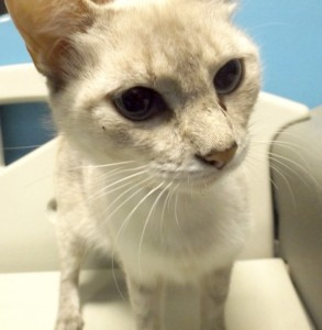 An adult female, shorthaired cat needs some serious petting.