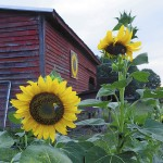 Barn owner and art owner Henry Goodnight said he always wanted a sunflower quilt design for his bed, so he went with that design for his barn. He always plants sunflowers in his garden nearby.  Wayne Hinshaw/For the Salisbury Post