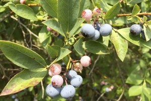 Cooperative Extension Blueberry season is pretty much over in the area, but Pine Top Blueberry Farm has one last picking planned Saturday.