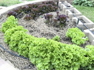 Cooperative Extension Lettuces grow in a raised bed. It's not too early to start cool season crops.