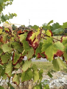 Cooperative Extension Pierce's disease on Carlos muscadine.The disease cannot be cured.