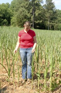 Cooperative Extension  Jordan looking at drought stressed corn.