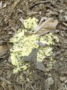 Cooperative Extension Slime mold, also known as dog vomit mold, on mulch.