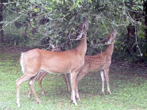 Cooperative Extension Deer grazing on trees in Chatham County.