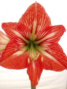 Cooperative Extension An amaryllis is a popular holiday gift plant. It can be saved to bloom again in your yard.