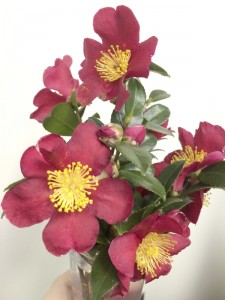 Cooperative Extension The Yuletide camellia has it all, green leaves, red blossoms and yellow interiors.
