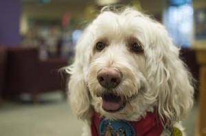 Josh Bergeron / Salisbury Post - Oliver, a dog registered with Therapy Dogs International, regularly participates in the Rowan Public Library's Tail Waggin' Tutors. The program aims to provide a relaxing environment for new and struggling readers.