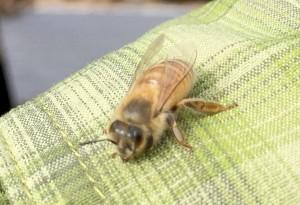 Cooperative Extension  Your friendly neighborhood honey bee.