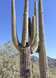 Cooperative Extension This saguaro cactus must be old; it does not develop arms until it reaches the age of 200 years.
