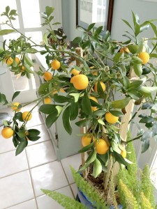 Submitted photo Some people grow citrus trees in pots and move them in and out of the house depending on the weather.