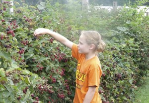 Submitted photo A child picks blackberries during a previous season.