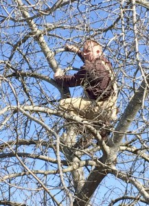 Cooperative Extension Dr. Mike Parker prunes a very mature, tall apple tree.