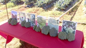 Cooperative Extension A demonstration of the different broccolis in the broccoli trial.