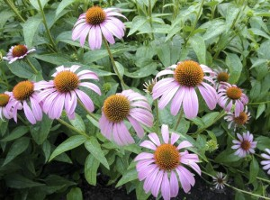 Cooperative Extension Gardeners may bring plants to swap on Saturday at the Master Gardener Plant Sale, like this purple coneflower.