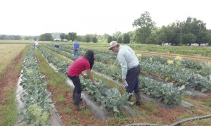 Cooperative Extension People attending the broccoli workshop check out what's in the field.