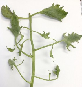 Cooperative Extension Deformed leaves of a tomato plant due to herbicide damage.