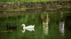 ALLISON LEE ISLEY/SALISBURY POST  Two ducks swim in the opposite direction in Salisbury on Tuesday, May 31, 2016.