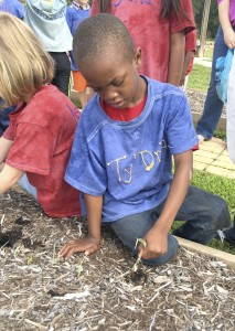 Cooperative Extension Ty'Driq harvests an onion from the garden at Millbridge Elementary.