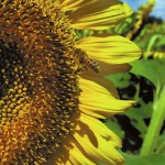 A honeybee gathers nectar from a sunflower at the Pollinator Habitat Area project. Wayne Hinshaw/For the Salisbury Post