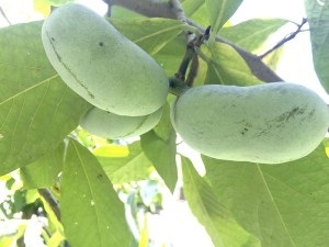 Cooperative Extension Pawpaws are a fruit that tastes sort of like a crorss between a mango and a banana and grows around North Carolina.