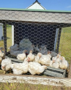 Cooperative Extension A chicken tractor provides some protection for chickens, but nighttime is when predators come out.