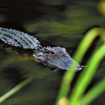 An uninvited guest at the party, an alligator quietly watched from the water behind the tall green grass.    Wayne Hinshaw/For the Salisbury Post