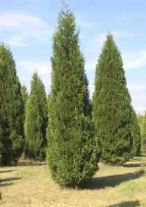Cooperative Extension A Leyland cypress at Pine Top Farm, if you're looking for a tall tree.