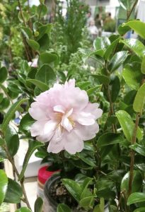 Submitted photo The versatile camellia blooms in fall or spring.