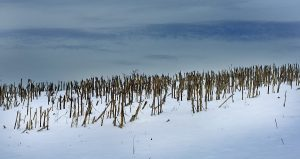 Broken corn stalks stand in a snow covered field off White Farm Road in Western Rowan under the wintry gray-blue skies of late afternoon.   photo by Wayne Hinshaw, for the Salisbury Post